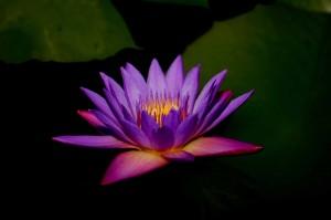 Lotus flower Spiritual Nurturance