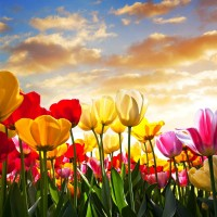 Tulips reaching for the sky - Learn to Heal Yourself